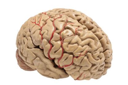 Anatomisches menschliches Gehirnmodel